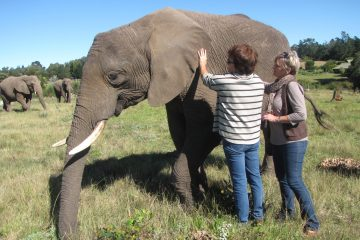 Get up close to the gentle Knysna Elephants